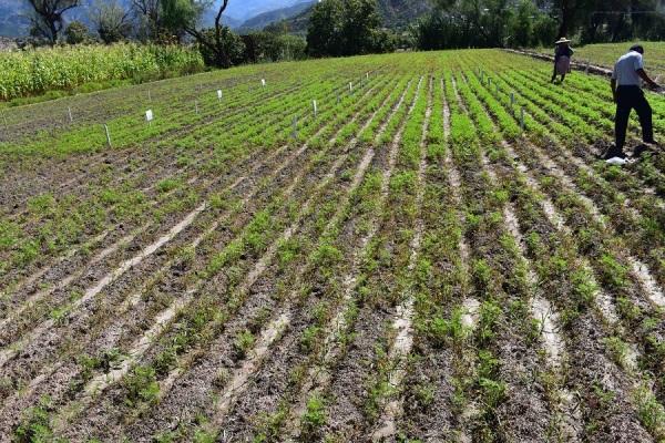 Cultivo con y sin ácido piroleñoso