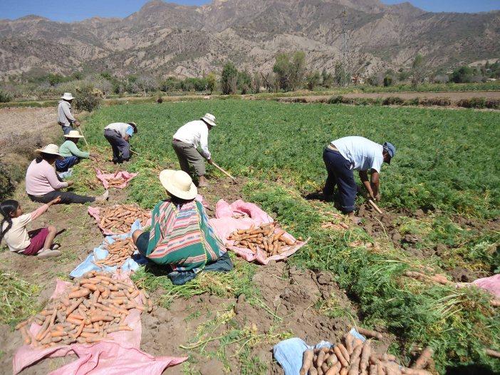 Cosecha tradicional de zanahoria
